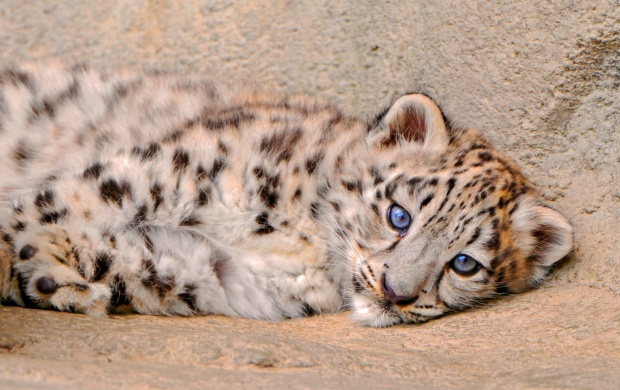Fluffy Snow Leopard Kitten Is Looks (click to view)