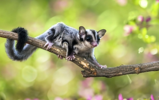 Flying Squirrel On Branch (click to view)