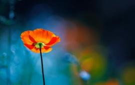 Focus Red Poppy Flower