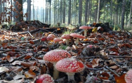 Forest In Red Mushrooms