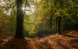 Forest Sunrays
