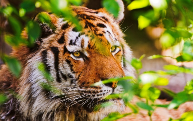 Forest Tiger (click to view)
