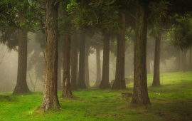 Forest Trees And Mist