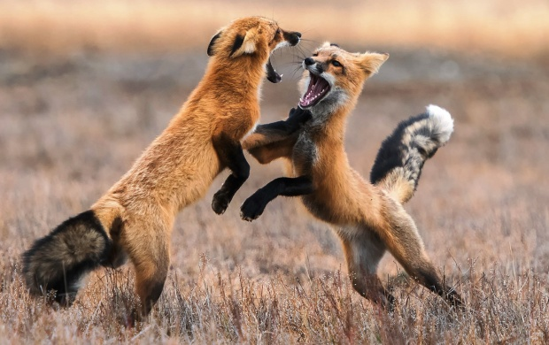 Fox Battle (click to view)