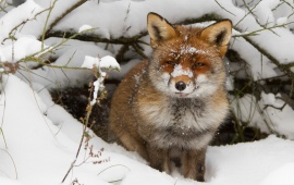 Fox Hiding In Snow