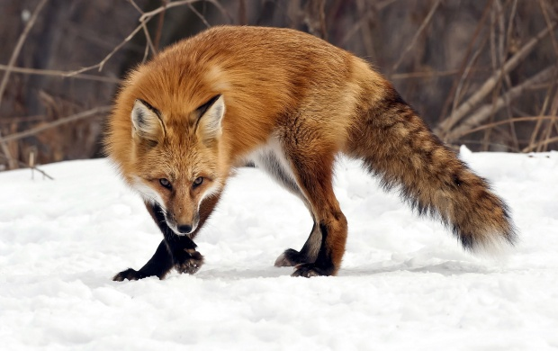 Fox Winter (click to view)