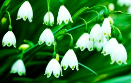 Fragrance Lily Of The Valley Flowers