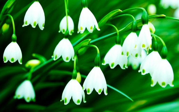 Fragrance Lily Of The Valley Flowers (click to view)