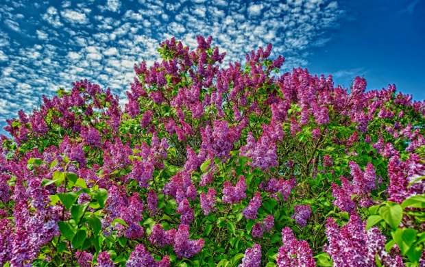 Fragrance The Lilacs (click to view)