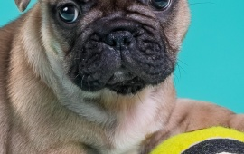 French Bulldog Puppy With Ball