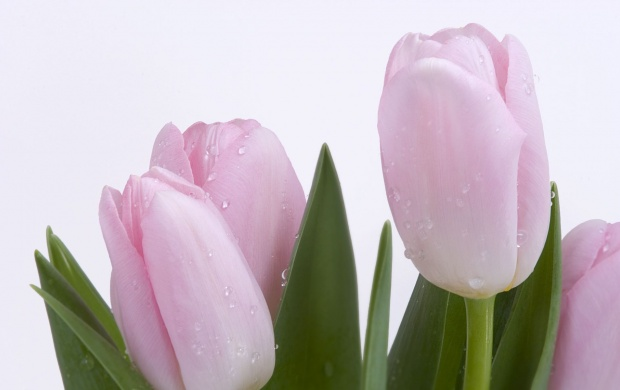Fresh Cut Tulips (click to view)