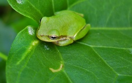 Frog Sitting On Green Leaves