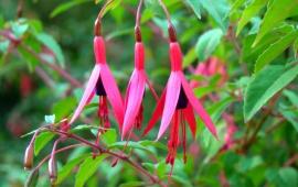 Fuchsia Flower And Leaves
