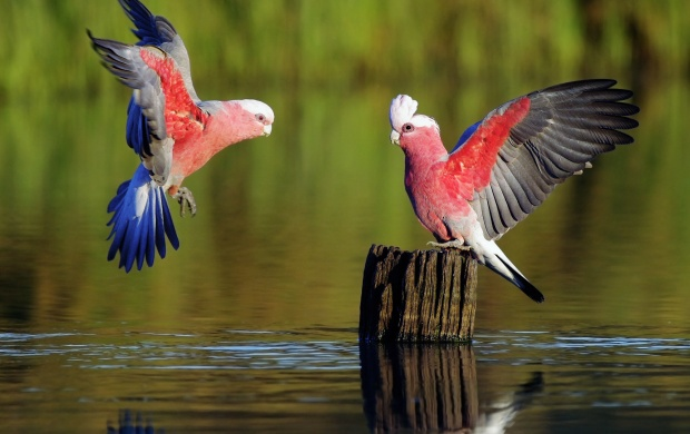 Galahs Flying (click to view)
