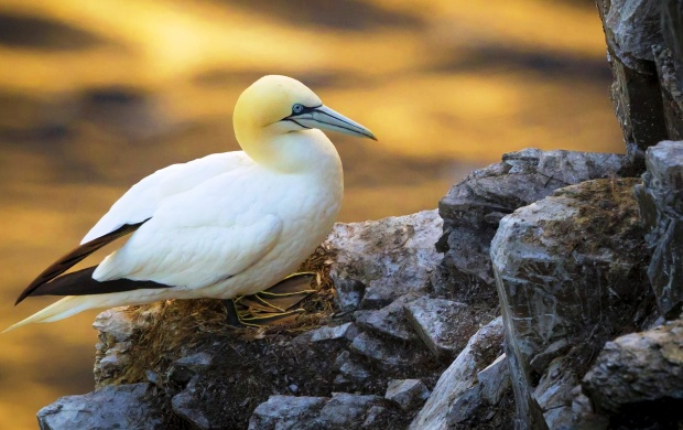 Gannet Bird (click to view)
