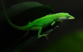 Geckos Lizards Green Leaf