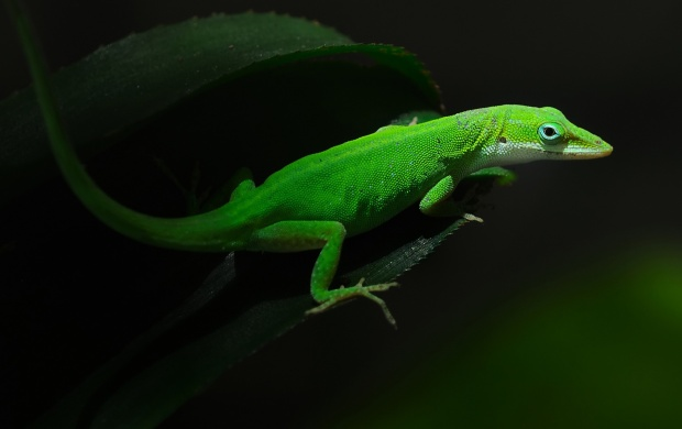 Geckos Lizards Green Leaf (click to view)