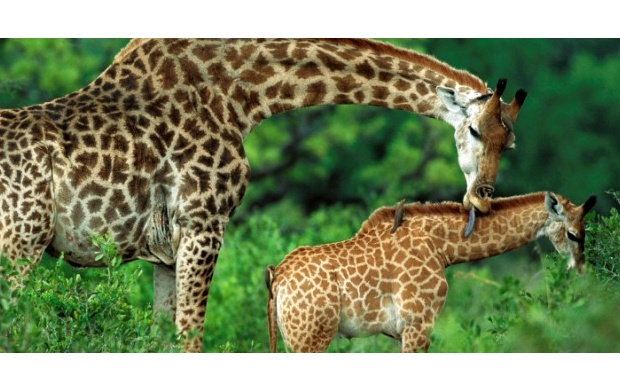 Giraffe And Her Baby (click to view)