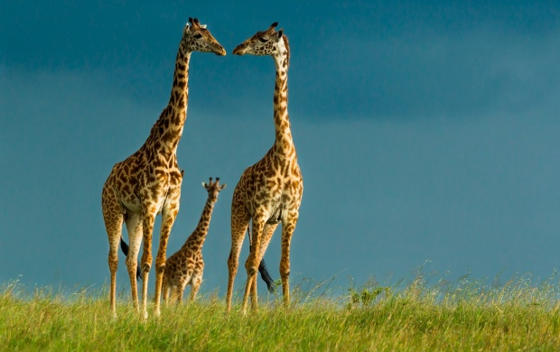 Giraffe Couple Love (click to view)