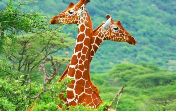 Giraffe In Love (click to view)