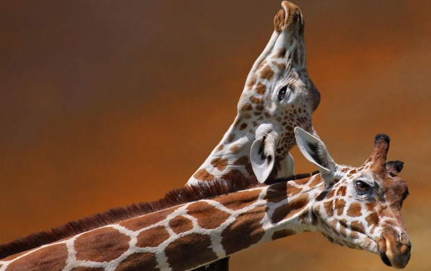 Giraffe Necking (click to view)