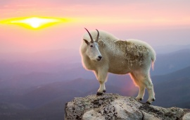 Goat At Mountain Sunrise