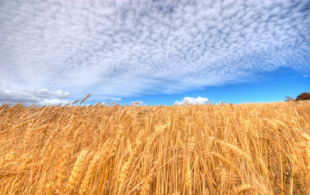 Golden Crop Field (click to view)