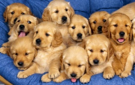 Golden Retriever - Puppies