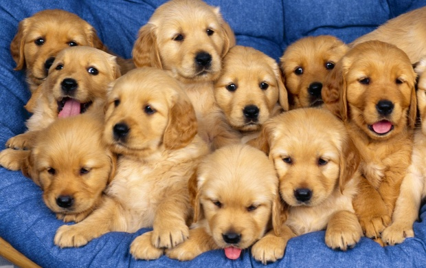 Golden Retriever - Puppies (click to view)