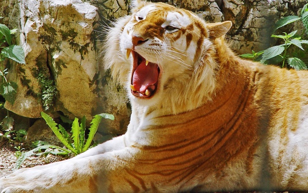 Golden Tiger (click to view)
