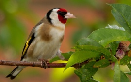 Goldfinch Bird On Branch