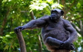 Gorilla Sitting On Tree Branch