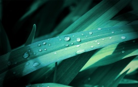 Grass Leaves On Drops