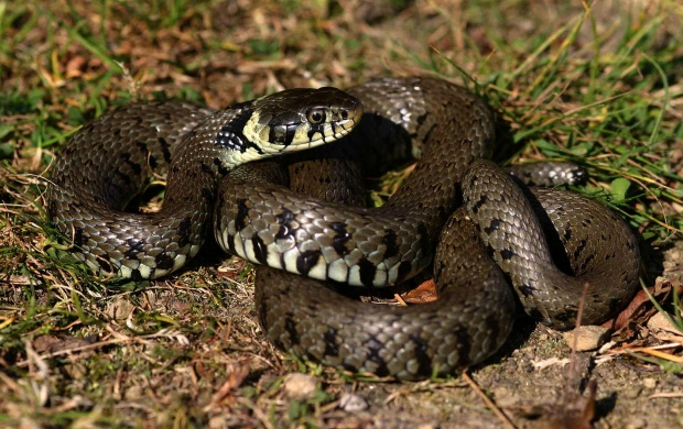 Grass Snake (click to view)