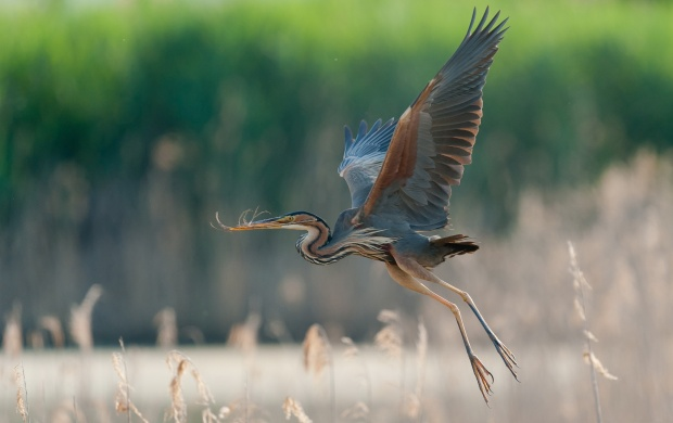 Great Blue Heron Flying (click to view)