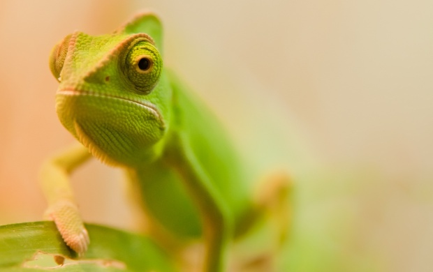 Green Chameleon (click to view)