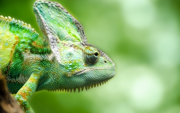 Green Chameleon Reptile (click to view)