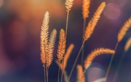 Green Foxtail Grass Background