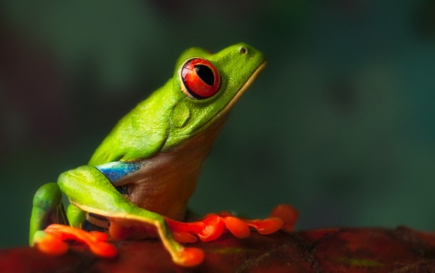 Green Frog Macro (click to view)