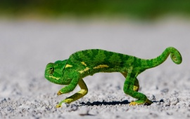 Green Gecko