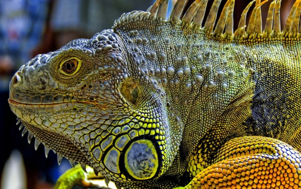 Green Iguana (click to view)