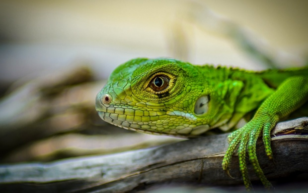 Green Iguana Lizards Head (click to view)