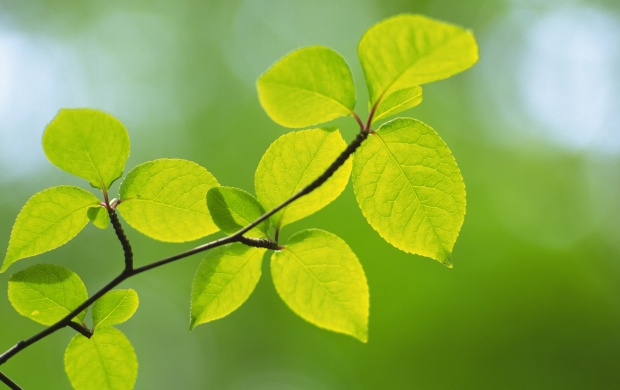 Green Leaves On A Branch (click to view)