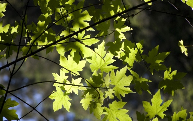 Green Leaves on Tree Branch (click to view)