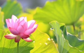 Green Leaves With Pink Lotus