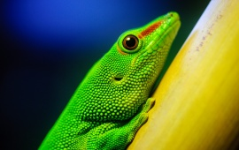 Green Lizard Closeup