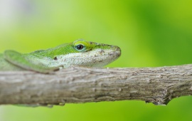 Green Lizard On Branch