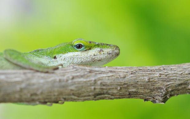 Green Lizard On Branch (click to view)