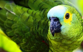 Green Parrot Black Beak