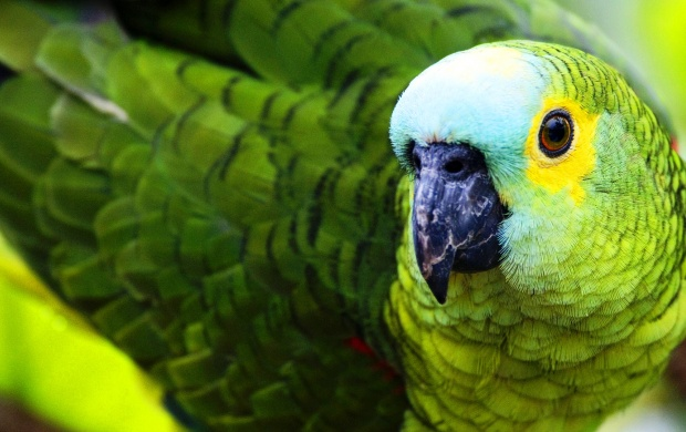 Green Parrot Black Beak (click to view)